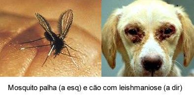 leishmaniose4