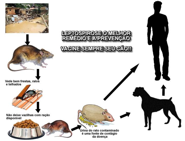 leptospirose_canina_g4