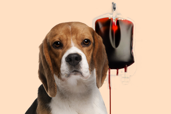 transfusao_sangue_pet